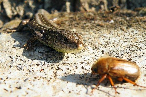 Lizard, Sand Lizard, Maikäfer, Chafer, Reptile, Nature
