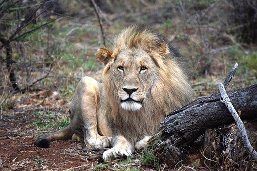Lion, African, Face-on, Safari, Animal, King, Male