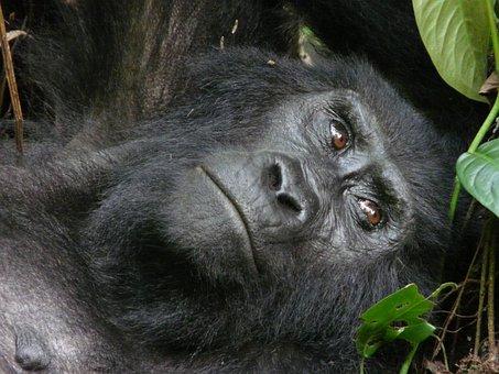 Mountain, Gorilla, Beringei, Uganda, Bwindi, National