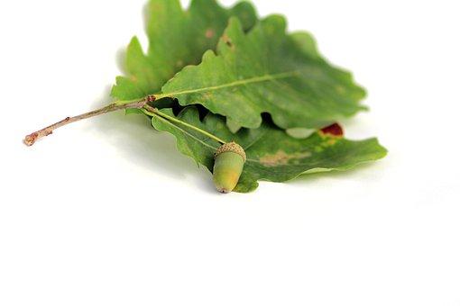 Acorn, Oak, Plant, Sheet, Walnut, Tree, Oak Leaf