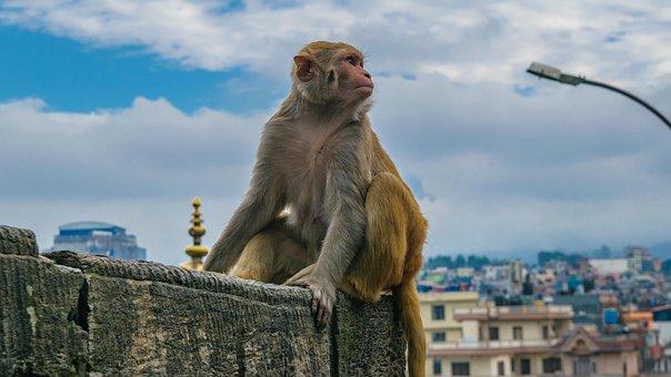 Monkey, Staring Monkey, Posing Monkey, Wild, Animal