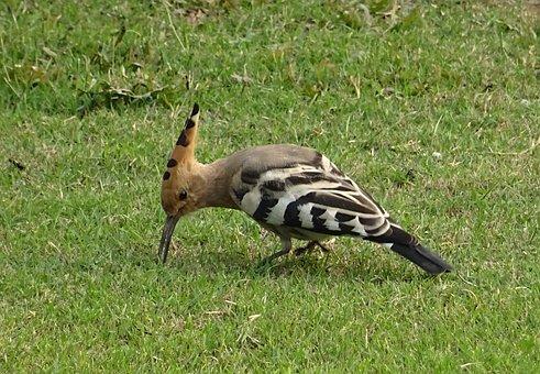 Bird, Avian, Hoopoe, Upupa Epops, Upupidae, Wildlife