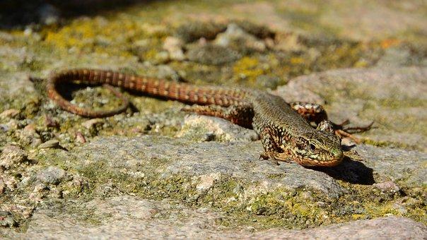 Wall Lizard, Lizard, France, Podarcis Muralis