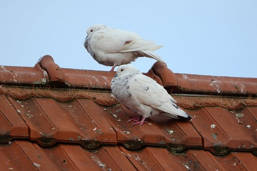 Pigeons, Dove, White Dove, Pigeon, City Bird