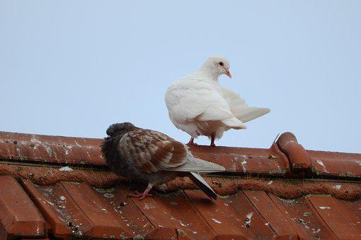 Pigeons, The Breeding Of Pigeons, Dove, White Dove