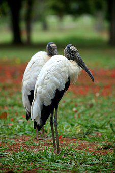 Wood Stork, Bird, Nature, Wild, Animal, Wading, Birding