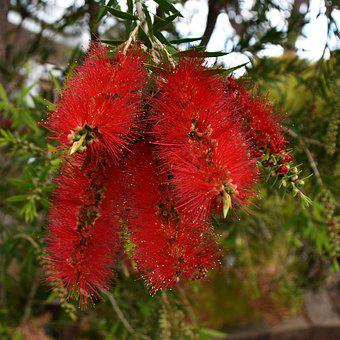 Banksia, Australian, Native, Flower, Plant, Flora, Bush