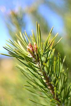Pine, Sprig, Blossoming, Closeup, Beautiful, Nature