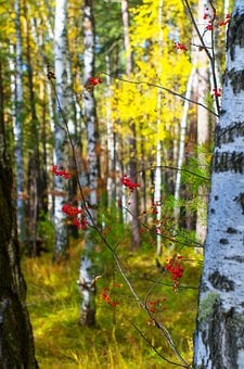 Birch, Rowan, Yellow, Autumn, Forest, Golden Autumn