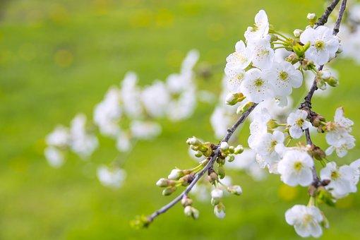 Marvelous Flowering Cherry, Cherries, Paradise