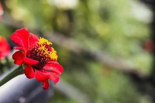 Zinnia, Flower, Red, Flor, Petals, Nature