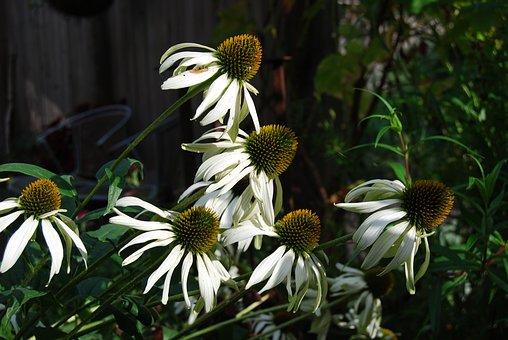 Echinacea, Flower, White, Sun Hat, Garden, Nature