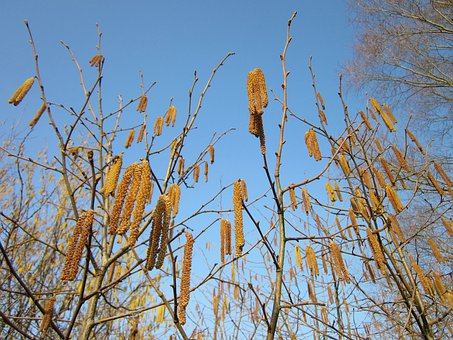 Haselnuss, Corylus Avellana, Germany, Plant, Plants