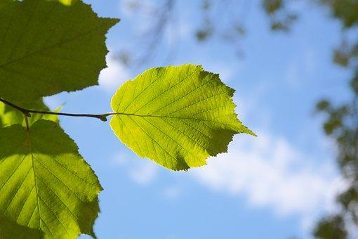 Leaf, Green, Back Light, Sky, Hazelnut Leaf
