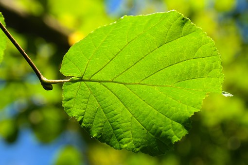 Leaf, Green, Back Light, Hazelnut Leaf, Common Hazel