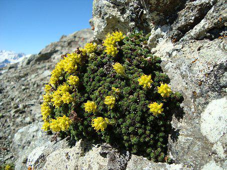 Arkhyz, Mountains, Flowers, Plant, Juicy, Bloom, Yellow