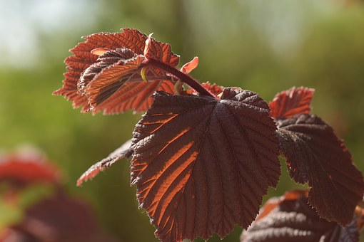 Leaf, Red, Beech, Leaves, Red Leaf, Nature, Bright