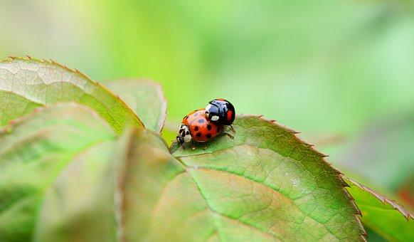 Harlequin, Copulation, Mating, Ladybird
