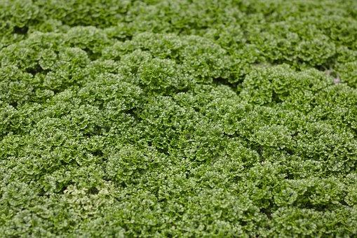 Moss, Selaginella Apoda, Footless Moss Herb, Moss Herb