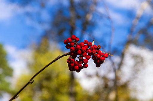 Rowan, Sky, Plant, Bright, Fruit, Red, Nature, Berry