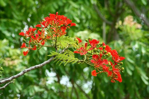 Flamboyant, Africa, Nature, Red, Tree, Poinciana, Green