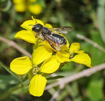 Wild Bee, Flowers, Yellow, Nectar, Pollination
