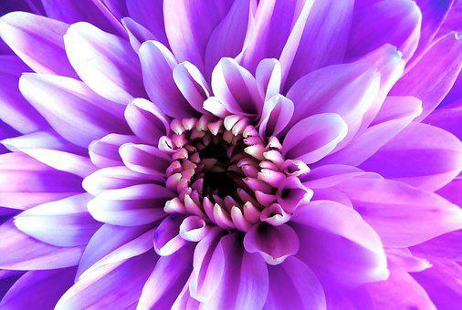 Purple, Flower, Nature, Floral, Natural, Pink