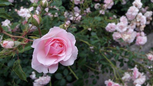 Rose, Flower, White Rose, Red Rose, Flowers, Roses, Red