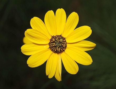 Yellow, Flower, Spring, Daisy, Green, Garden, Plant