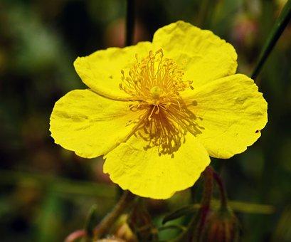 Alpine Flowers, Bright Yellow, Stamens, Hispanic