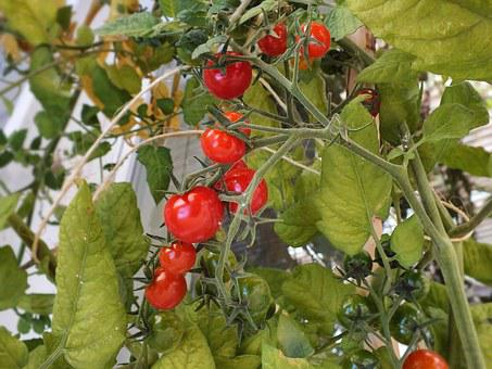 Tomatoes, Mini Tomatoes, Food, Vegetables, Red, Tomato