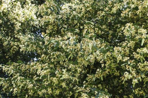 Linden, Color, Tree, A Lot, Sheet, Bloom, Flower, Aroma