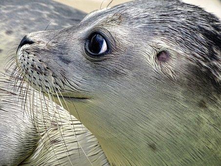 Seal, Robbe, Mammal, Aquatic Animal, Animal, Water