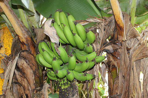 Honduras, Green Bananas, Bananas, Rural, Rustic