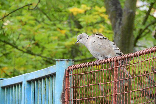 Streptopelia Decaocto, Dove, Bird On A Fence, Pigeon