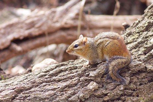 Chipmunk, Animal, Cute, Nature, Wild, Wildlife, Rodent