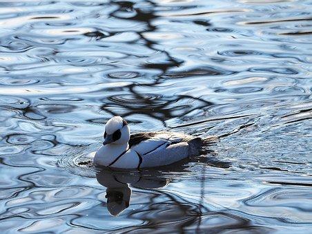Merganser Piette, Ducks, Birds, Wild Duck, Animals