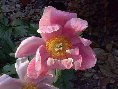 Parrot Tulip, Tulip, Pink, Flower, Blossom, Flora