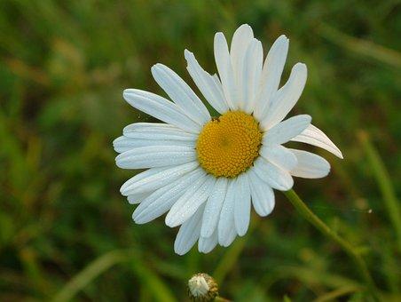 Flower, Marguerite, Spring