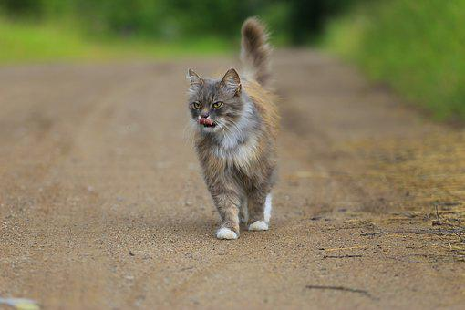 Cat, Handsome Man, Walking, Snout, Cats, Animals, Pet