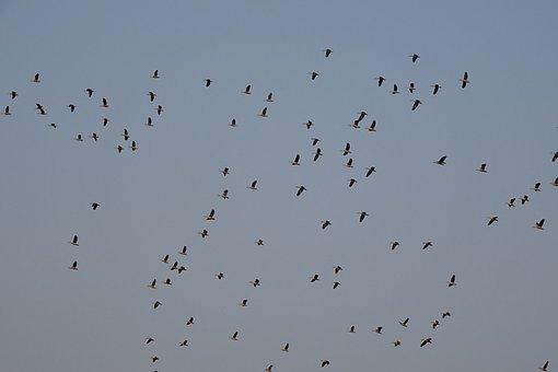 Bird, Duck, Avian, Lesser Whistling Duck