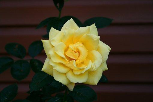 Rose, Flowers, Tender Rose, March 8, Sun
