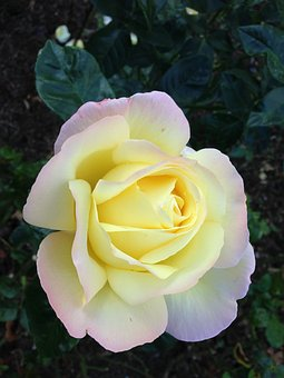 Rose, Nature, Flowers, Blossom, Bloom, Pale Yellow Rose