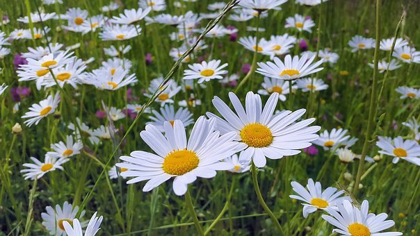 Daisies, Meadow, Meadow Margerite, White, Flower, Plant