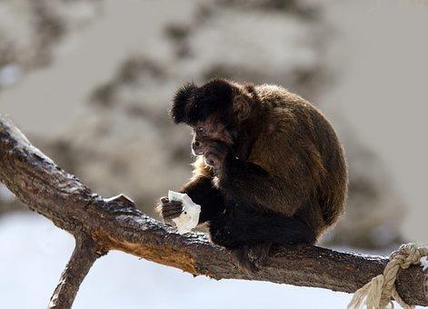 Capuchin, Monkey, Capuchins, Primate, Zoo