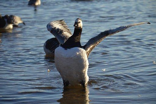 Goose, Bird, Wings, Proud