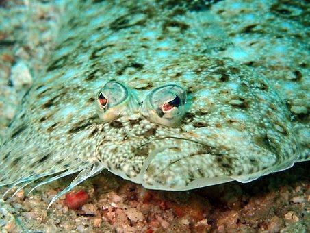 Sole, Flounder, Fish, Flatfish