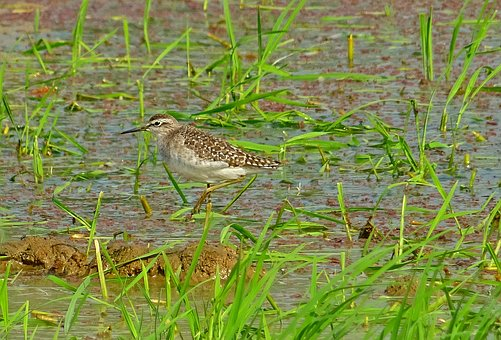 Bird, Wood Sandpiper, Tringa Glareola, Wader, Mid-sized