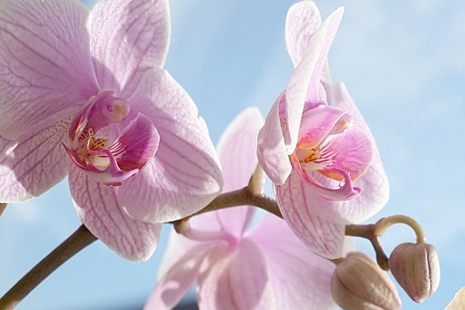 Orchid, Pink, Blossom, Bloom, Tropical, Phalaenopsis