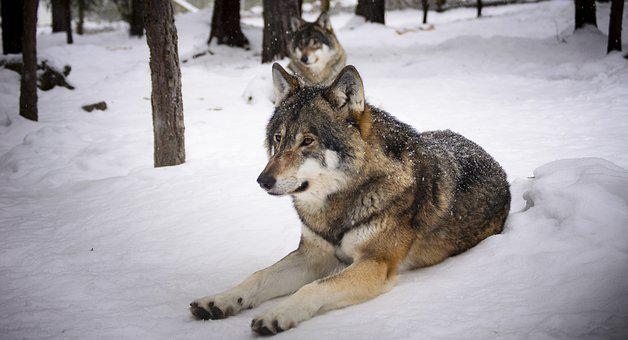 Wolves, Snow, Predators, Wolf, Winter, Zoo, Meat Eaters